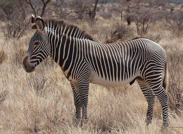 File:Grevy's Zebra Stallion.jpg