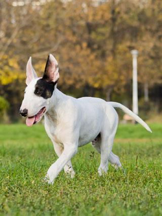 File:Bull-terrier treelo.jpg