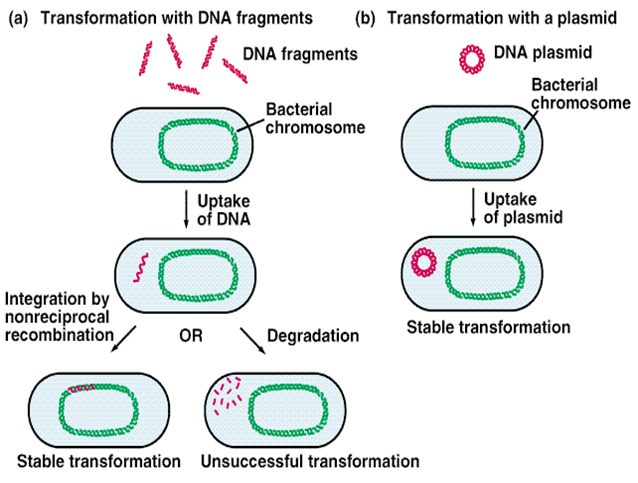 conjugation transformation and transduction That is a very good question, daily lives of bacteria high depend on these activities, including virulence, exotoxin, drug resistance and even fertility let.