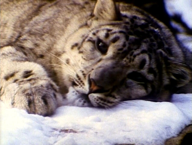 File:SomebodyComeandPlay.Snowleopards.jpg