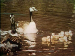 Film-Geese