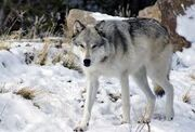 Wolf22
