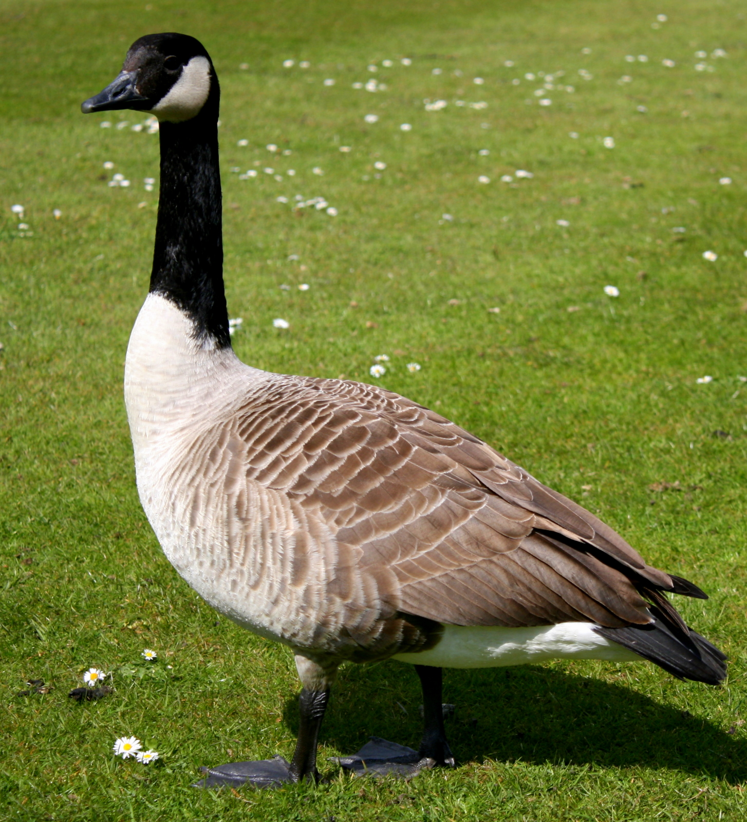 canada goose down wiki