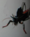 Firebellied Tree-Talon (Hylaeohamus)