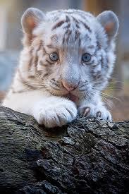 File:Tiger Cub on a branch.jpg