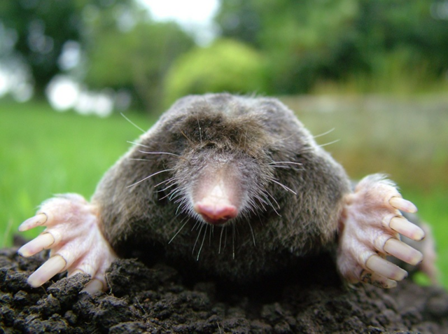 File:Real Life Mole.png