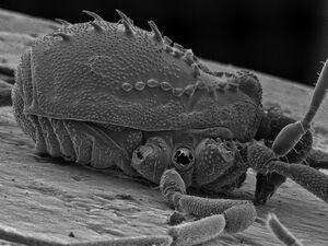 Hesperonemastoma modestum FMNH AK 192 K lat LOW RES