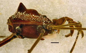 Roquettea carajas - MNRJ 2289 - male holotype - lateral