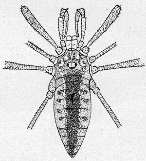 Akalpia oblonga Roewer, 1915 - from Rwr 1923