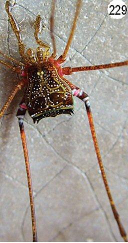 Mitogoniella indistincta ML-1936