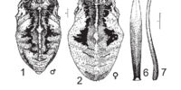 Bidentolophus