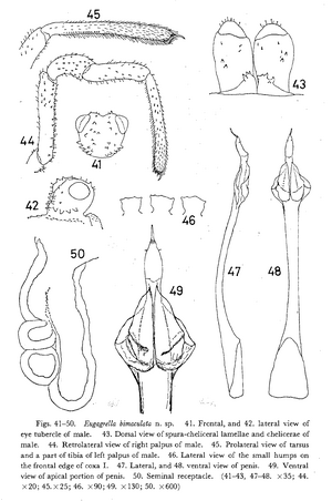 Eugagrella bimaculata