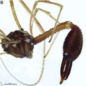 Forsteropsalis bona T+P-2014-B