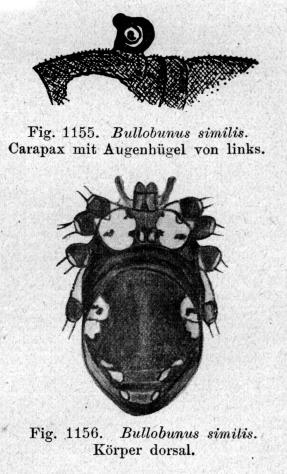 Bullobunus