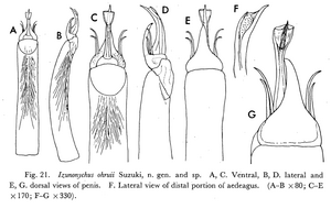 Izunonychus ohruii Suzuki-1975c-37