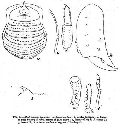 Rostromontia truncata