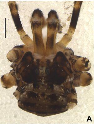 Trasychiroides moporanga