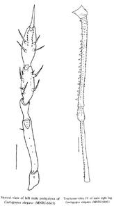 Caelopygus elegans C