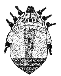 Gagrellula bicolor