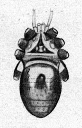 Gagrellula albicoxa