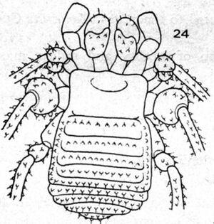 Mexotroglinus sbordonii