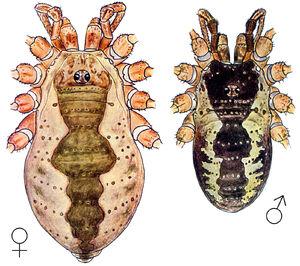 Mitopus morio (Fabricius, 1779) by Silhavy 1956a