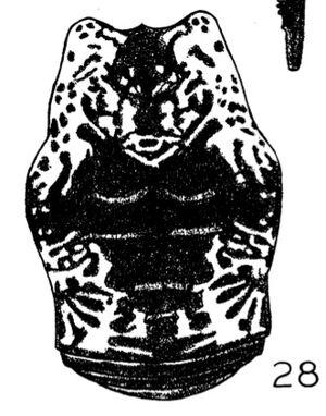 Eupoecilaema panamaense dorsal