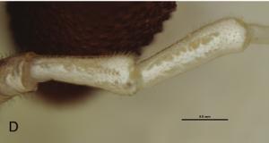 Pantopsalis cheliferoides Colenso-1882-D