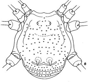Anduzeia maculisplena