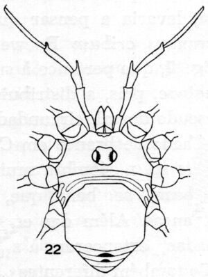 Amazonesia pulchra H