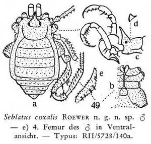 Seblatus coxalis Roewer-1949a