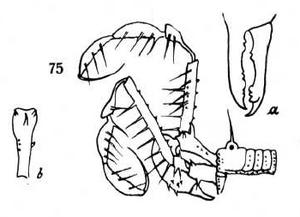 Sinistus fuscus Roewer-1938b