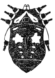 Gagrellula niasensis