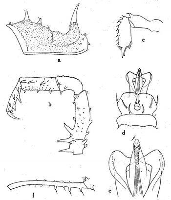 Millomontia brevispina