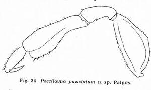 Anduzeia punctata Palpus