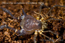 DNP 3407 Discocyrtus testudineus male teratological Buenos Aires