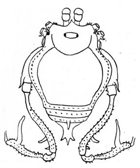 Glysterus guatemalensis Roewer-1943