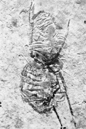 Oligoopilionus aquaticus Ciobanu, 1977