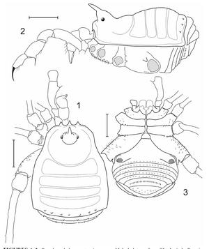 Pseudopachylus martensi Kury-2006b