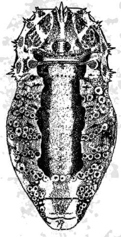 Odiellus troguloides male from France by Martens 1978