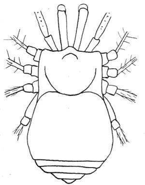 Buemarinoa patrizii - original by Roewer 1956