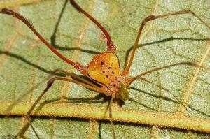 Enio Branco Opilião laranja (Classe Arachnida, Ordem Opiliones, Familia Gonyleptidae, Genero Pristocnemis