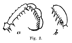 Beloniscus simaluris Roewer-1923