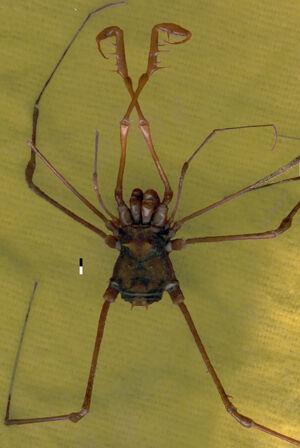 Stygnicranaus concolor male dorsal ret