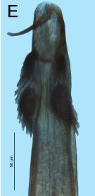 Fosteropsalis pureora Taylor-2013a-E