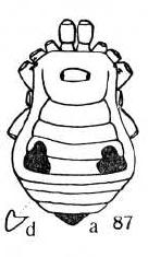 Tithaeus trimaculatus Roewer-1949a