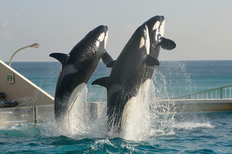 Des nouvelles des orques du sea world kamogawa - Page 2 Latest?cb=20160117052619