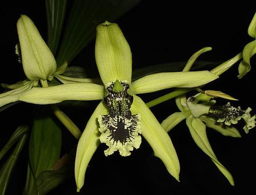 Anggrek Hitam Kalimantan Coelogyne pandurata | wikipedia