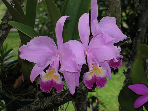 Cattleya trianae orchids wiki fandom powered by wikia for Orchidea cattleya
