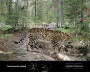 Panthera-pardus-spelaea-738x591